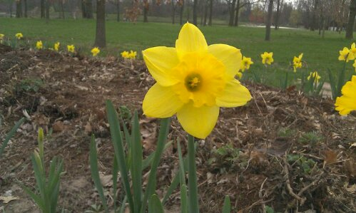 first daffadil of spring