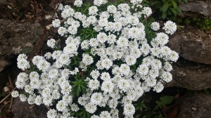 cheekwoodwhiteflowers.jpg
